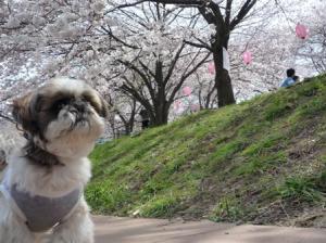 ホントはこっちがメインの桜かな?