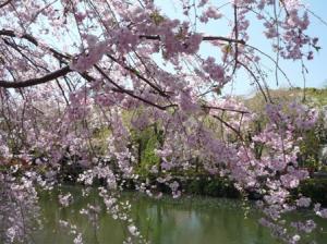 桜色というより桃色