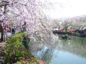 三島大社のしだれ桜