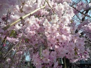 ここもしだれ桜