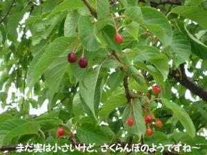 サクランボの木♪