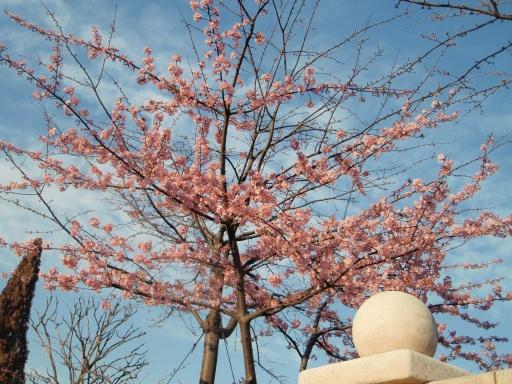 TDLの桜