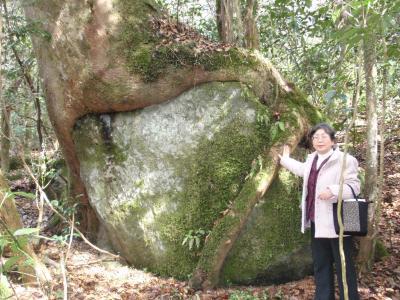 菊池渓谷 岩抱きの大木