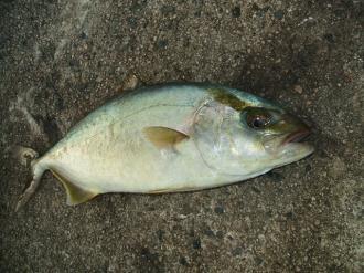 カンパチの幼魚