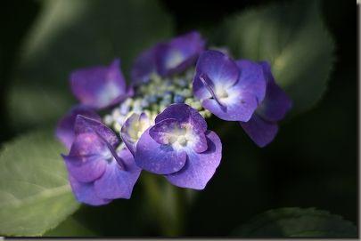 紫陽花 016