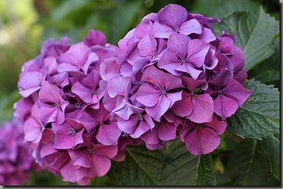 紫陽花 050