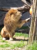 200903316_lion