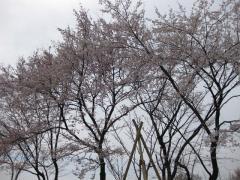 200904012_sakura