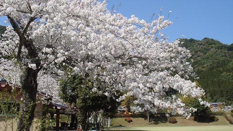 桜01hichinosusakura01