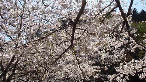 桜01hichinosusakura02