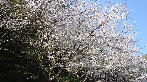 桜01hichinosusakura05
