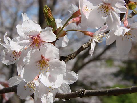 桜02hanatatesakura02