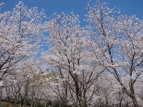 桜02hanatatesakura03