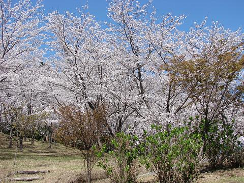 桜02hanatatesakura04
