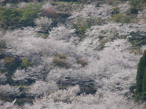桜04hotelkitagosakura02