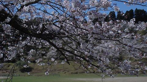 桜06chikoen02