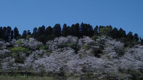 桜06chikoen03