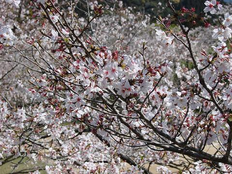 桜06chikoen05