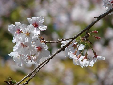 桜06chikoen06