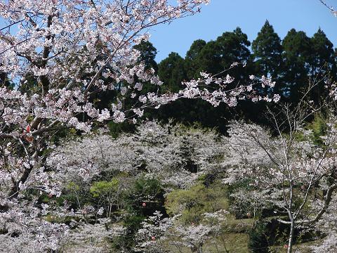桜06chikoen07