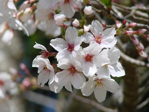 桜06chikoen08