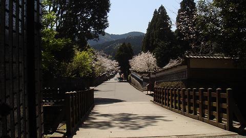 桜08ootemonsakura03