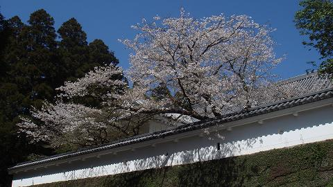 桜08ootemonsakura04