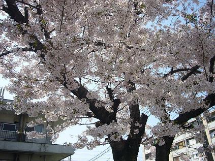 千鳥橋桜2