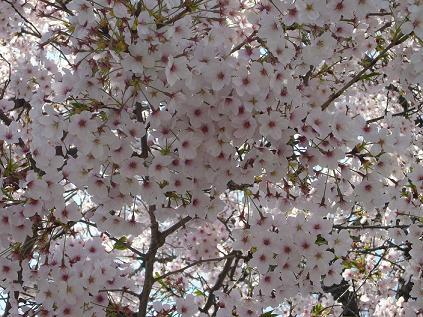 千鳥橋桜3
