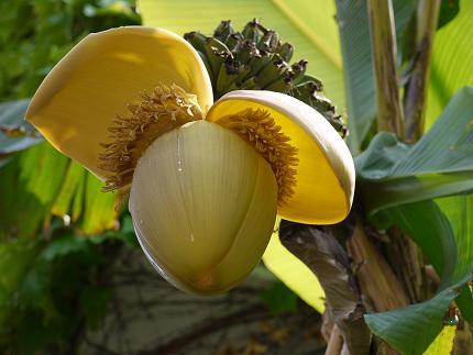 西九条バナナの花