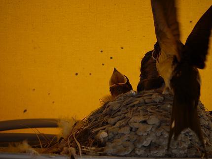 ツバメ雛2