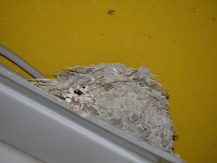ツバメの巣空っぽ