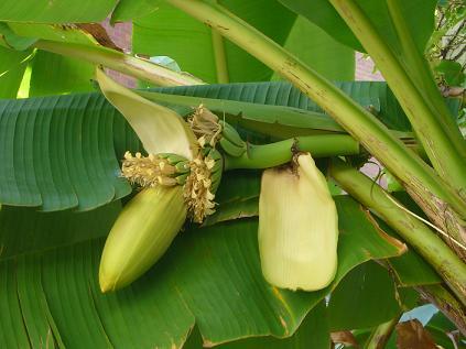 バナナ0920