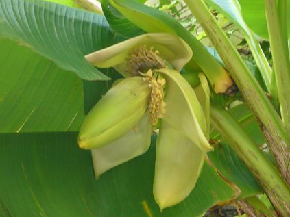 バナナ0918