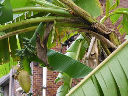 バナナ被害2
