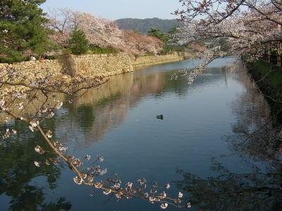 久松公園の桜