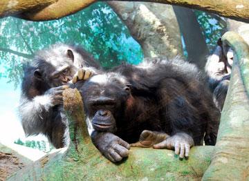 チンパンジーNO2