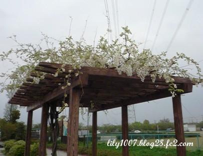 白い藤のお花