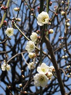 湯島天神の梅まつり7