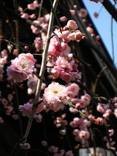 湯島天神の梅まつり8
