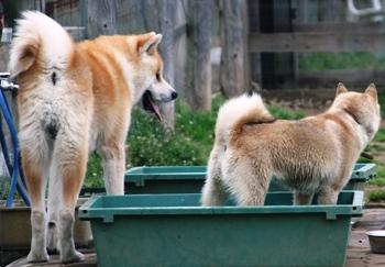 道犬と秋田犬