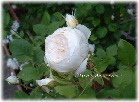 rose mary