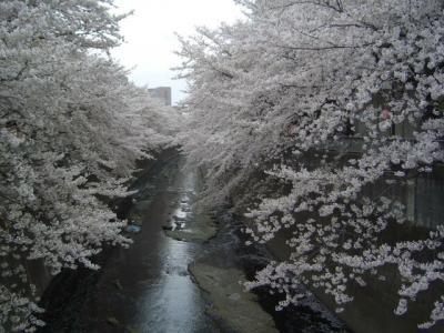 早稲田さくらまつり(1)