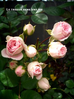 ピンクの小さなバラ
