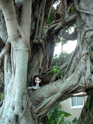 大きなかじゅまるの樹