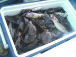 収穫した魚