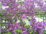 紫のブーゲンビリアの花