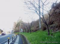 titosesakura-3s.jpg