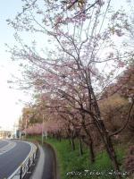 titosesakura-8s.jpg
