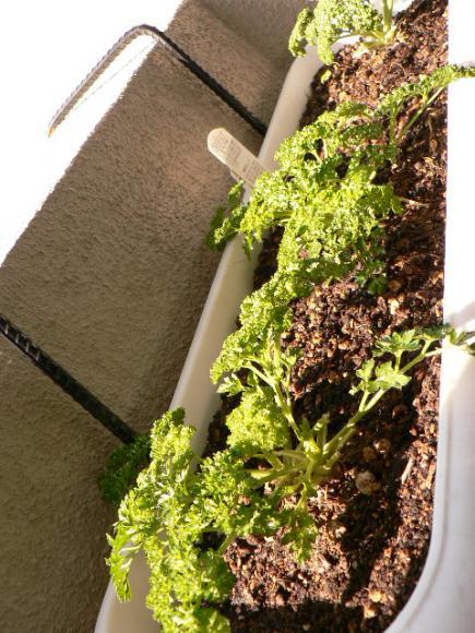 2008年ベランダ菜園